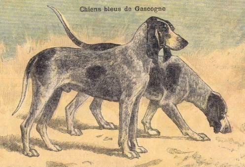 Photo Grand Bleu de Gascogne