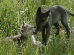 wolfcub - Loup (7 mois)
