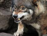 Loup lobo - Loup Mâle (7 mois)