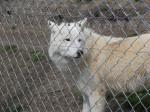 Loup Saska - Loup Femelle (0 mois)