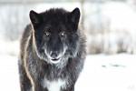 Shadow - Loup