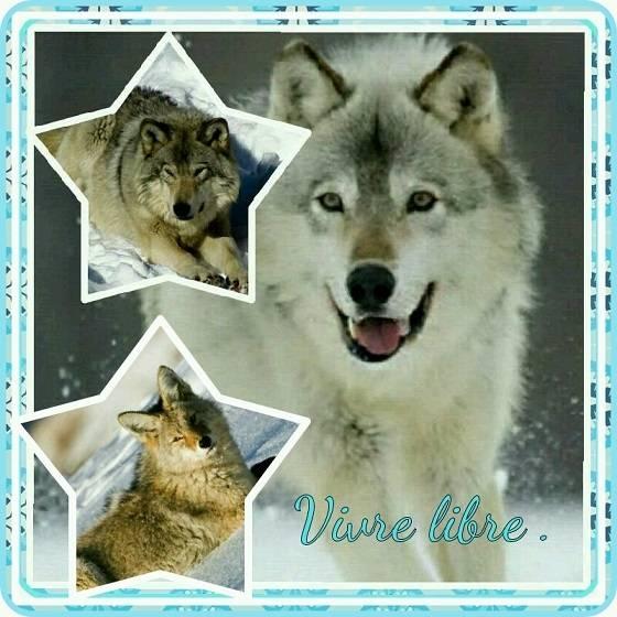 Loup star - Loup Mâle (2 ans)