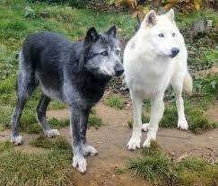Icey and shadow - Loup (14 ans)