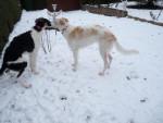 Chien mes barzoi dans la neige - Barzoï  (Vient de naître)