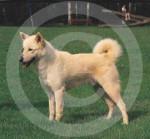 Canaan Dog - Chien de Canaan