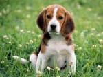 Chien batman - Beagle Mâle (5 mois)