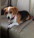 Chien Copper DiPhillipo - Beagle Mâle (4 mois)