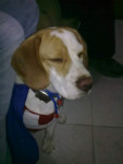Chien Manolo - Beagle Mâle (2 ans)