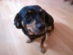 Chien Bella - Beagle Femelle (1 an)