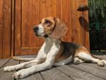 Chien Le Beagle - Beagle  (Vient de naître)