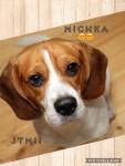 Chien Mischka - Beagle Femelle (10 mois)