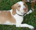 Chien Mon chien datshu - Beagle Femelle (6 mois)