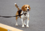 Chien  - Beagle Femelle (0 mois)