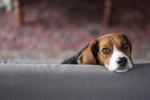 Photo Beagle