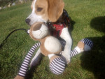 Chien Pup - Beagle Mâle (8 mois)