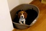 Tara - Beagle (3 mois)