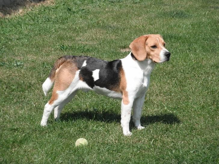 Xuco - Beagle Mâle (3 mois)