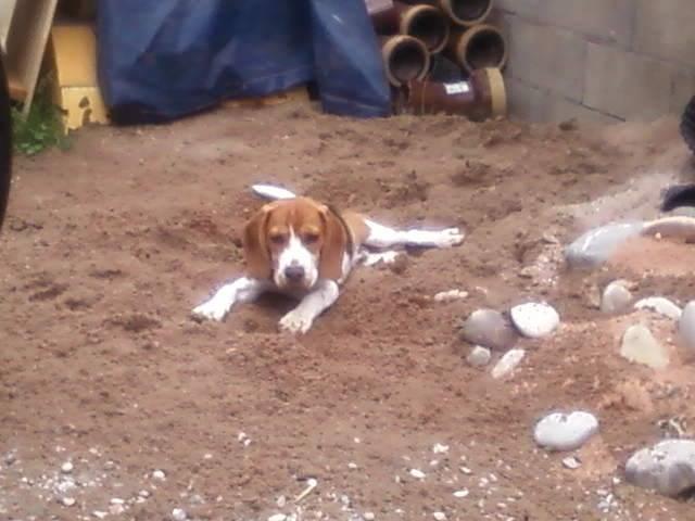 Havane - Beagle Mâle (4 mois)