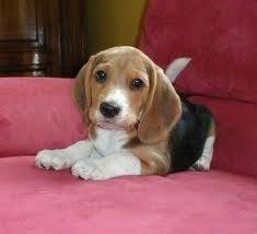 oscar - Beagle Mâle (1 mois)