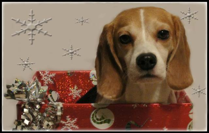 Hunter - Beagle Mâle (3 ans)