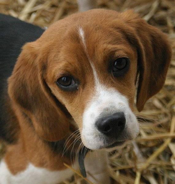 hot dog - Beagle Mâle (1 mois)