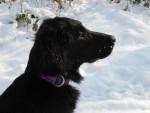 Chien Feeling du Roc de Tougne dans la neige. Hiver 2012 - Retriever à poil plat  (Vient de naître)