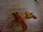 Galice - Terrier irlandais (1 an)