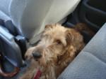 Galice - Terrier irlandais (2 ans)