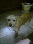 rusty - Terrier irlandais Mâle (9 ans)