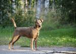 Photo Terrier irlandais