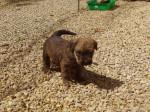 Guinness - Terrier irlandais (1 mois)