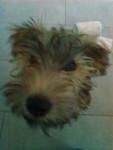 Guinness - Terrier irlandais (5 mois)