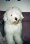 Chien Freya, jeune Bobtail 9 mois - Bobtail  (9 mois)