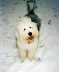 Chien Freya 9 mois - Bobtail  (9 mois)