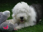 Chien Hooper Bobtail à 6 mois - Bobtail  (6 mois)