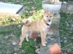 Chien Akimi shiba inu femelle de 5 mois - Shiba Inu  (5 mois)