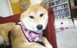 Chien Misaki - Shiba Inu Femelle (6 mois)