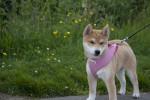 Chien  - Shiba Inu Femelle (0 mois)