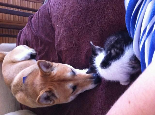 Inaya et son bébé chat =) - Shiba Inu (2 ans)