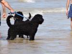 Port. Wasserhund - Chien d'eau portugais Mâle