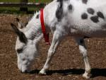Âne Donkey - Mâle (Vient de naître)