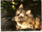 Chat Ganou - Femelle (1 an)