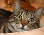 Chat annie - Femelle (4 ans)