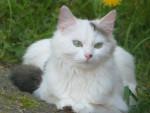 Chat Crapule - Femelle (11 mois)
