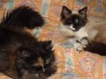Chat Ramsès et  Oréade , les petits de Dixys -  (0 mois)