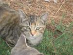 Chat Peluche - Femelle (7 mois)
