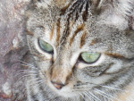 Chat Petit Ya Junior - Femelle (7 mois)