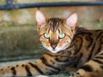Chat Bengal -  (Vient de naître)