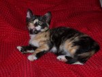Chat pistache - Femelle (2 mois)