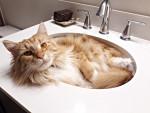 Un Maine Coon roux et blanc allongé dans un lavabo